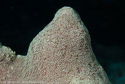 BD-141011-Komodo-4198-Dendrogyra-cylindrus.-Ehrenberg.-1834-[Pillar-coral].jpg